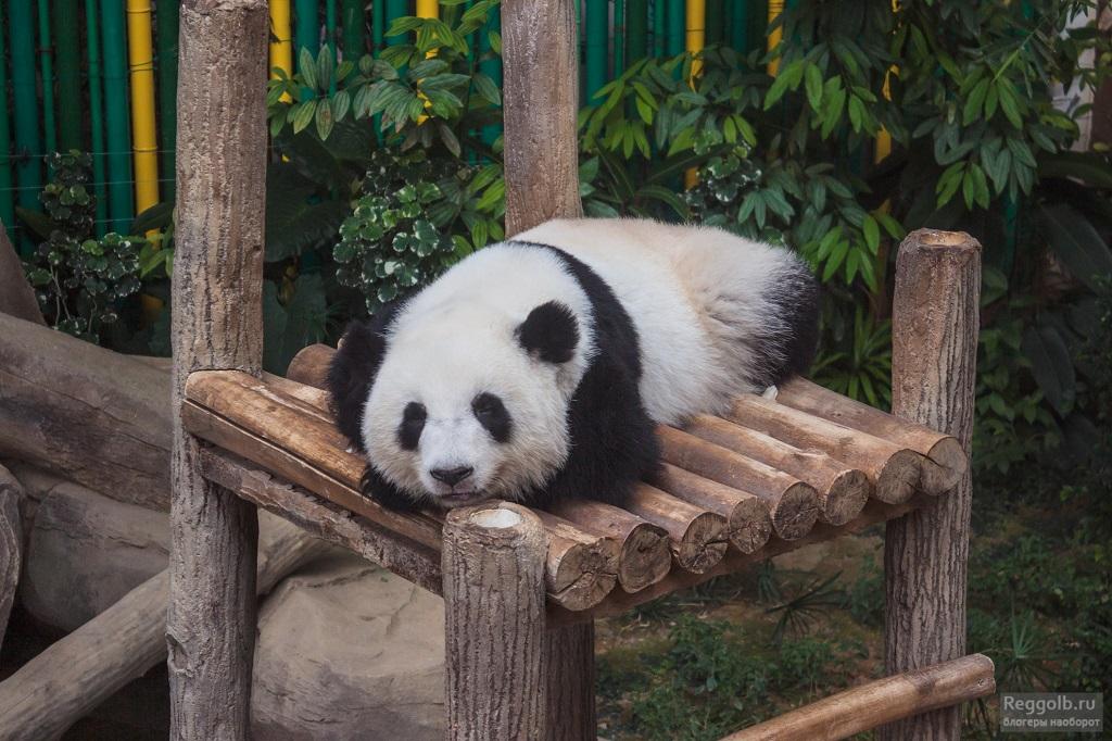 зоопарк Куала-Лумпура панды